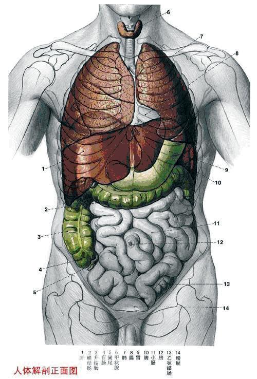 人体组成_人体结构图 人体腹部左边都有什么器官?