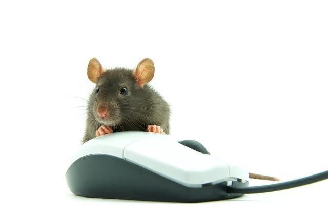 生肖鼠的运程