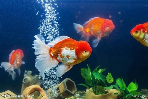清理鱼缸的鱼种类_鱼缸里可以和金鱼一起养河虾么?_百度知道