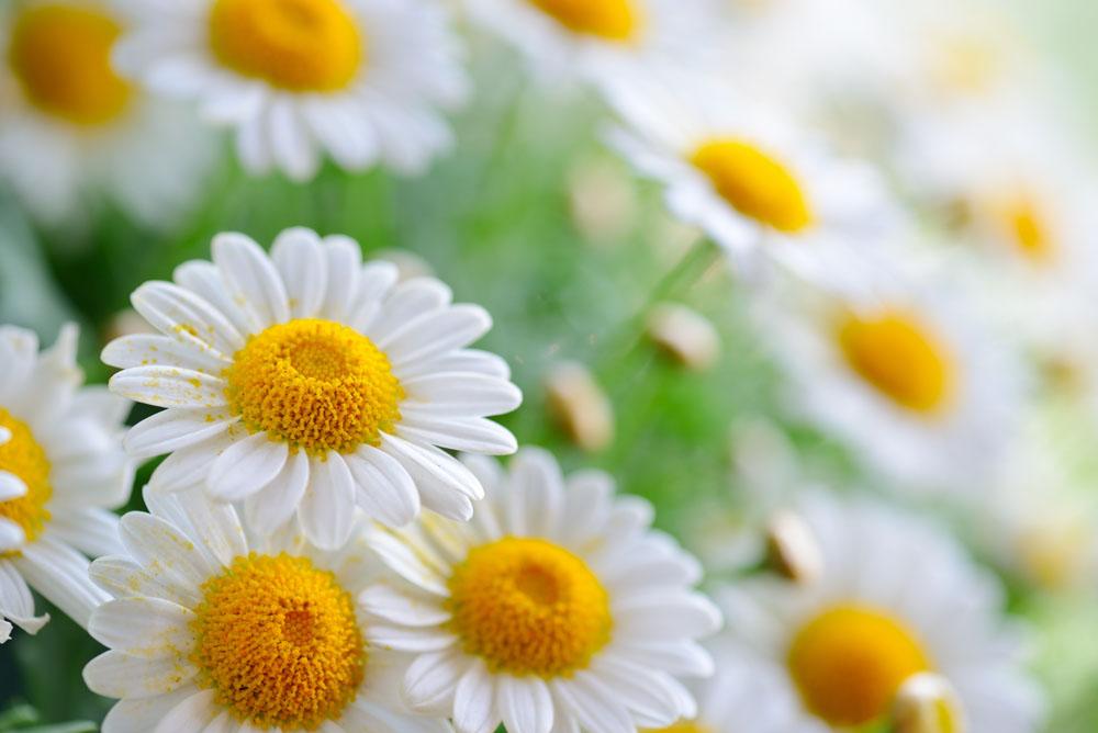 菊花散发着香味。扩句