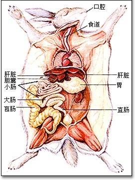 兔子解剖图