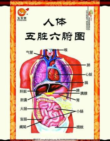 人体五脏六腑解剖图_人的五脏六腑图片_百度知道