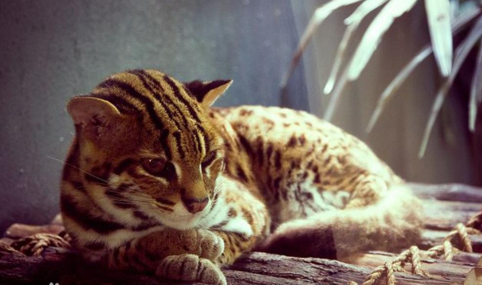 梦见象老虎一样的猫