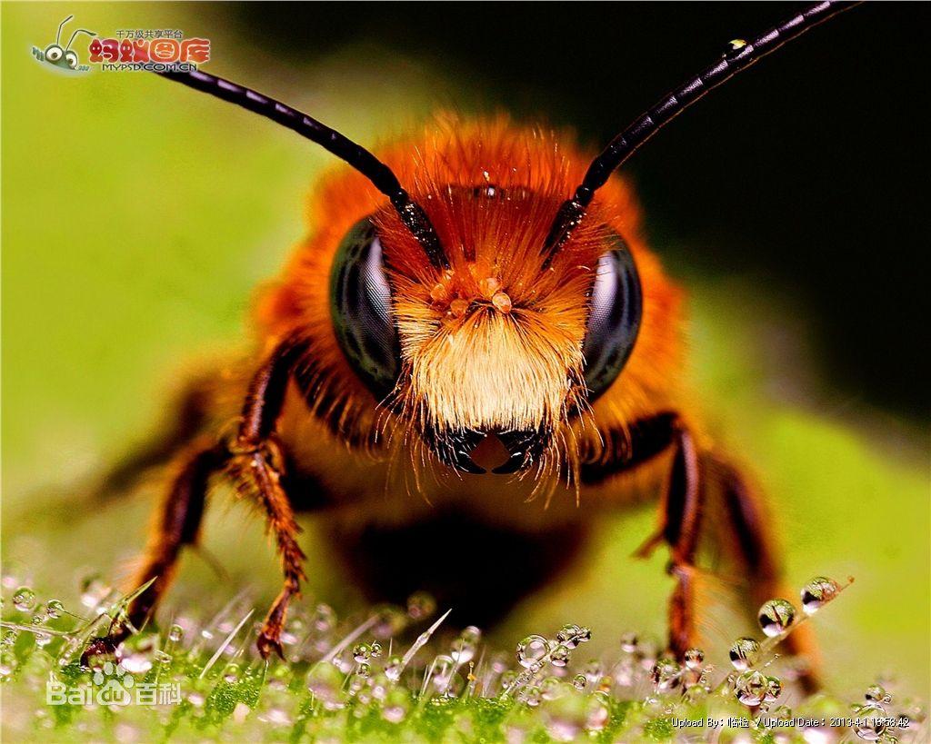 蜜蜂是昆虫还是动物吗