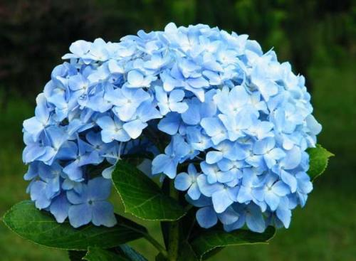 绣球花的花语是什么