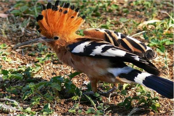 红耳鹎怎么分公母_百灵鸟怎么分公母图_百度知道