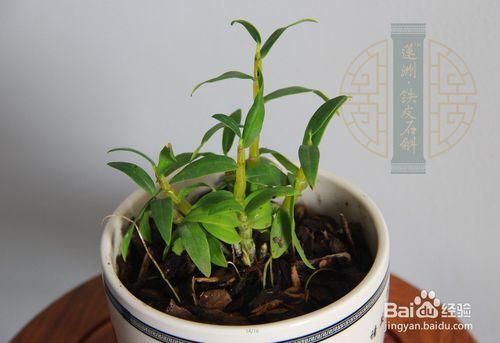 铁皮石斛种植 家庭盆栽 方法图片