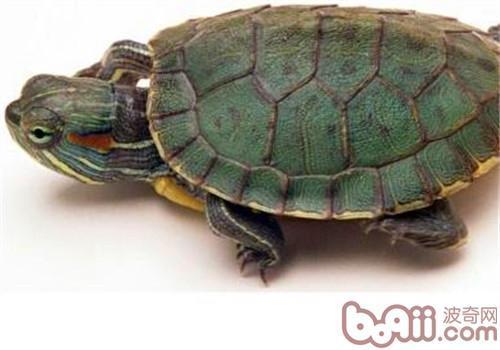 成年巴西龟如何饲养?