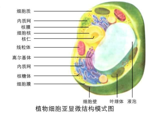 动植物细胞的异同点_植物细胞结构图_百度知道