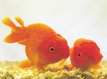 狮子头鱼能长多大_狮子头金鱼怎么繁殖_百度知道