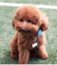 为什么泰迪狗三个月了不会叫?