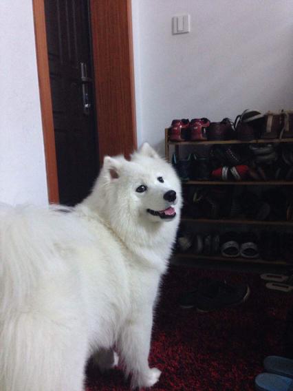 萨摩耶5个月有多大_求高人指教,这怎么套狗狗的。2个月的狗狗_百度知道