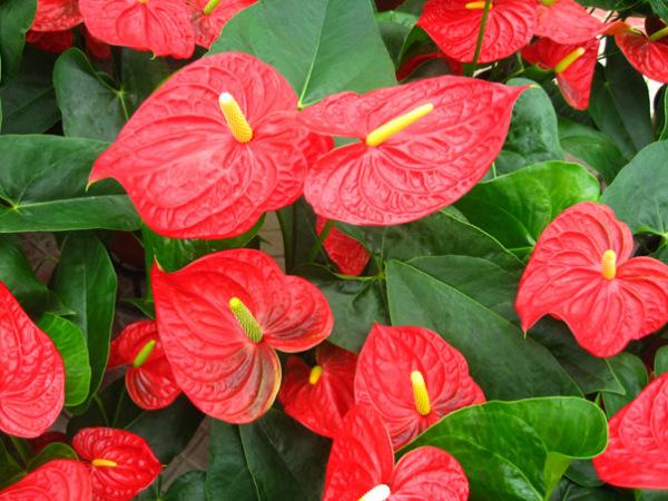 火鹤花的花语是什么_这是什么植物??叶子像芋头。。。。。_百度知道