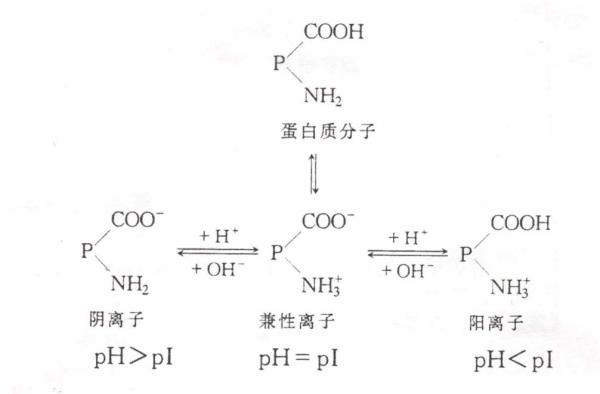 谷氨酸等电点_等电点的区别酸碱_百度知道