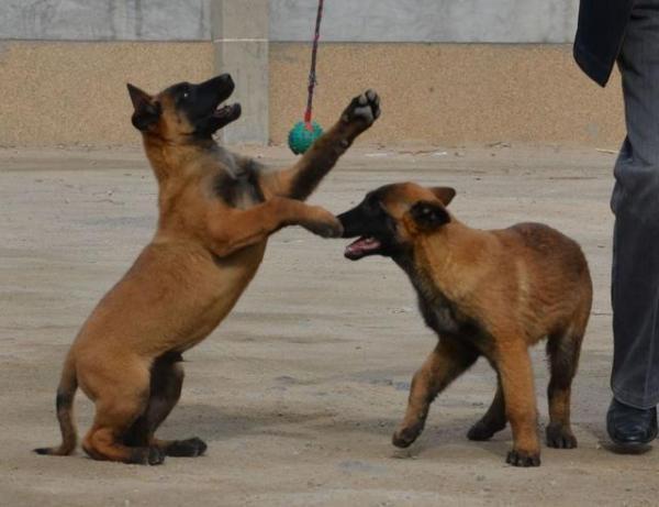 如何让马犬狗狗更听话-马犬狗狗训练思路?