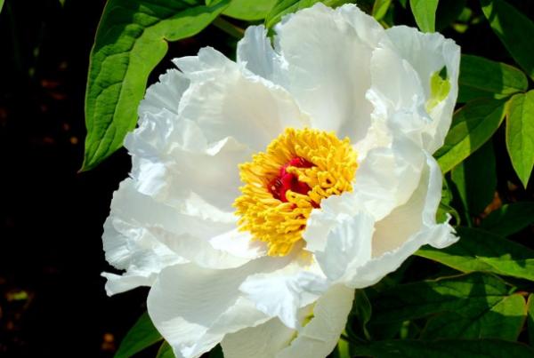 买盆栽牡丹花被骗?那是不了解牡丹王和白牡丹的区别插图