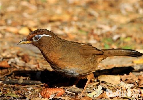 画眉鸟的寿命有多长呢?