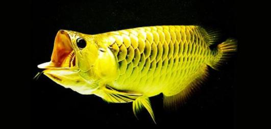 亲鱼将鱼卵产含于口中直至孵出幼鱼 水族资讯