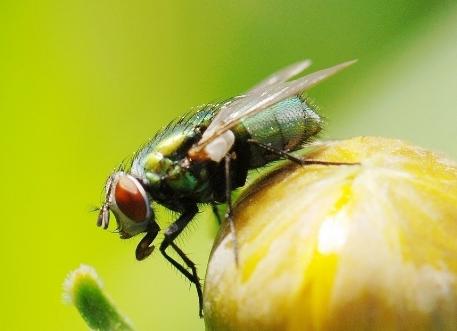 坚挺金苍蝇是什么_无头苍蝇的歇后语是什么_百度知道