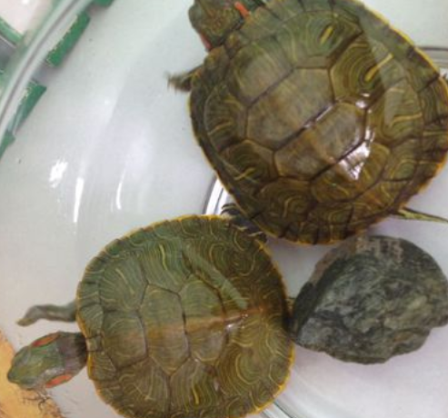 小乌龟浮在水面_刚买回来的小乌龟怎么养啊?_百度知道