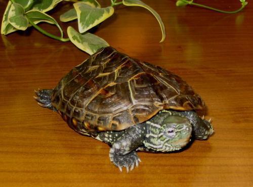 为什么冬眠的乌龟放了一段时间之后就干了?