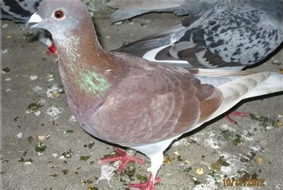 红雨点配白鸽子它们后代是什么颜色图片