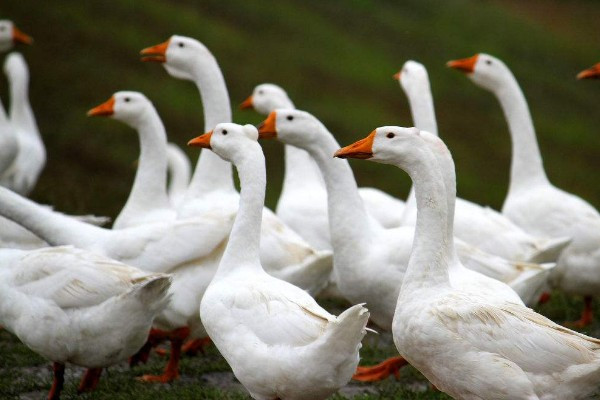 农村养鸡鸭的多,养鹅的却少,这是什么原因?