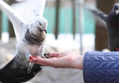 白鸽子应该怎么养?