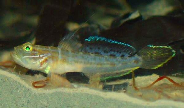 求科普:北方常见的小型鱼我想知道它学名叫什么属于什么科(鲤?鲈?)见图片