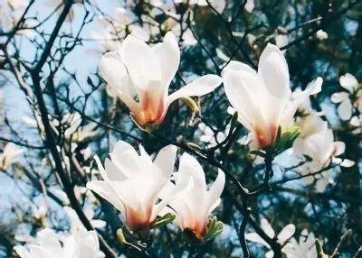 素衣紫冠_描写玉兰花的诗句_百度知道