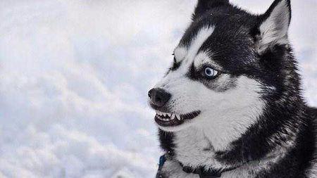 「小知识」如何分辨狗狗情绪,狗狗出现这种特征请不要轻举妄动!
