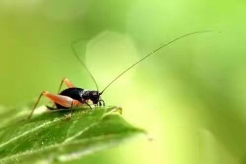 什么蟋蟀成语_蟋蟀卡通图片