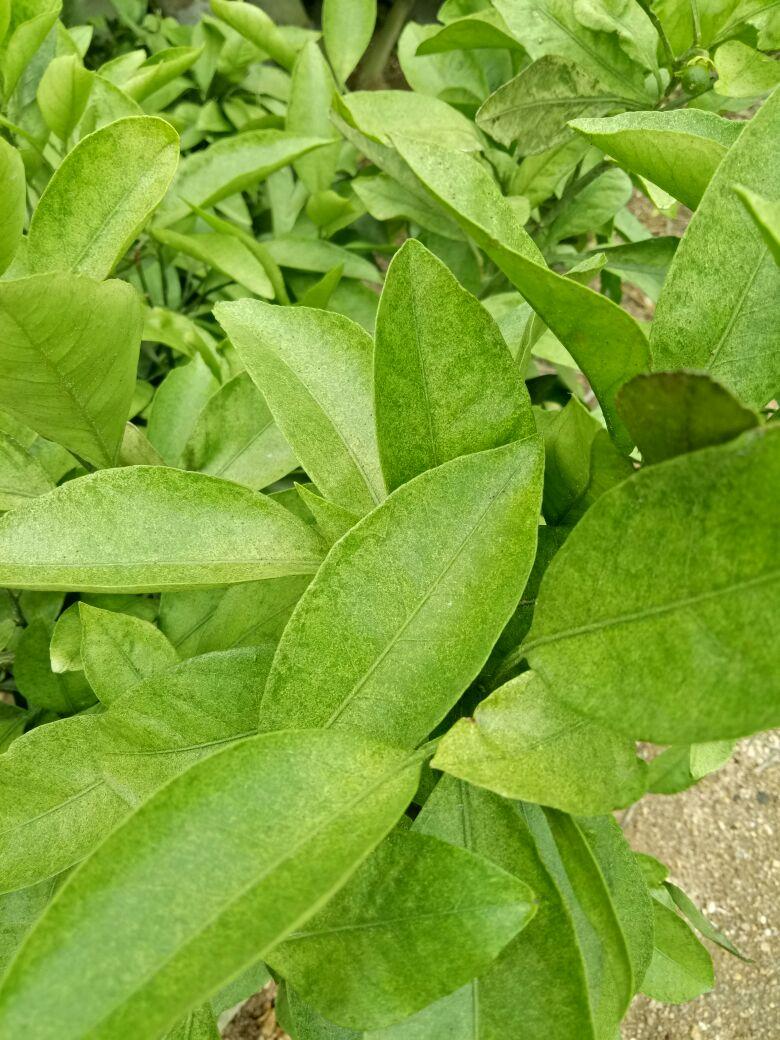 成语桔什么叶_甜桔叶是什么叶子