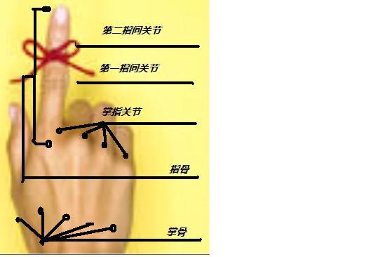 手指的解剖名称