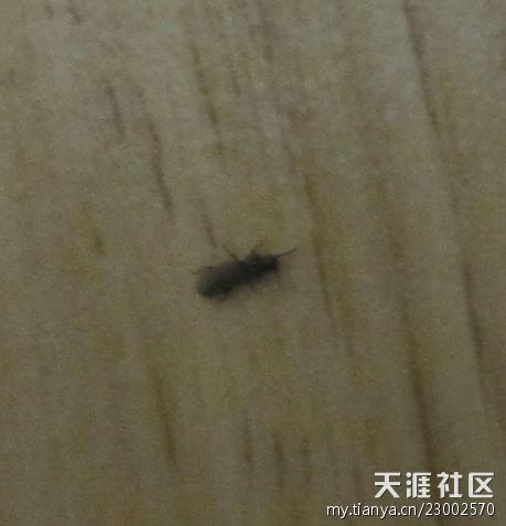 請問夏天木地板縫里和衣柜里出現的這種小黑蟲是什么圖片