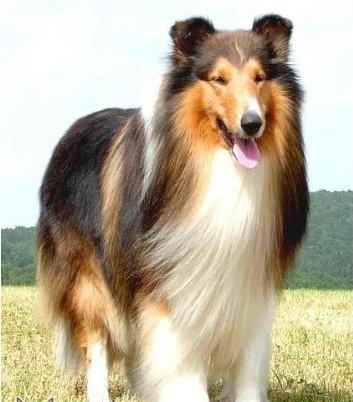 长脸狗_看到一只黑白相见的狗狗,大型犬类,毛很长,脸尖尖的,很 ...