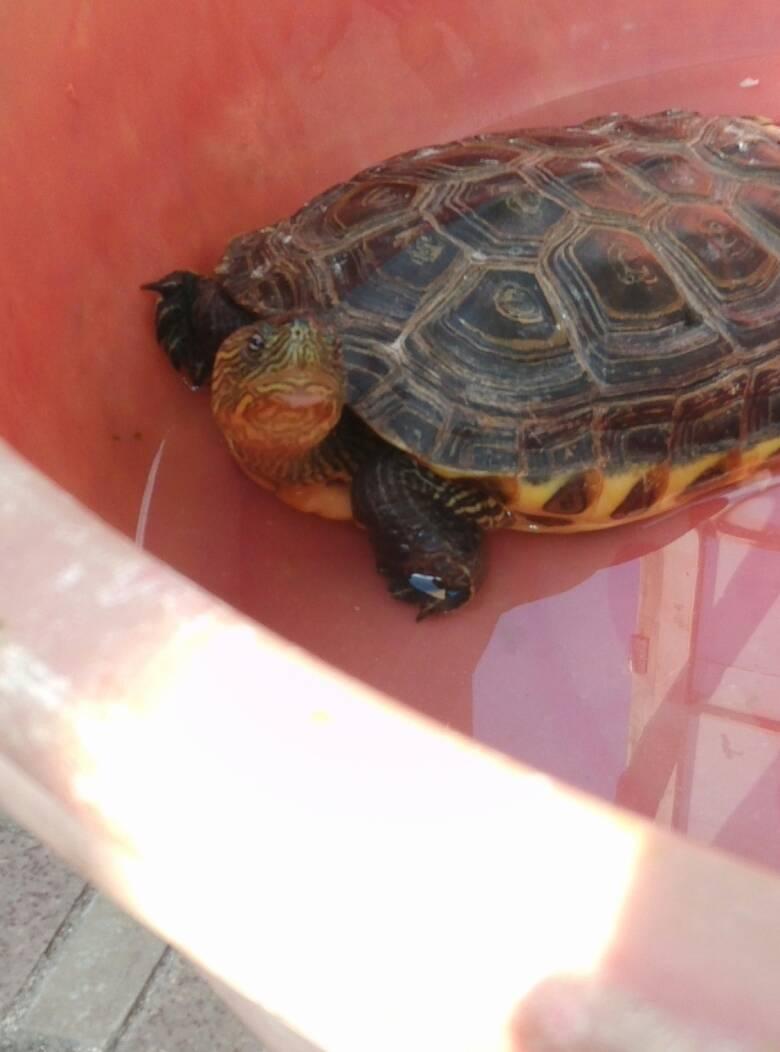 小乌龟冬眠了怎么办_我家的小乌龟被大乌龟咬成这样,。。。怎么办。能活嘛。好像 ...