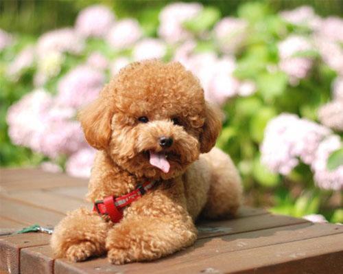 给泰迪狗修毛视频_泰迪狗怎么修剪毛图片_百度知道