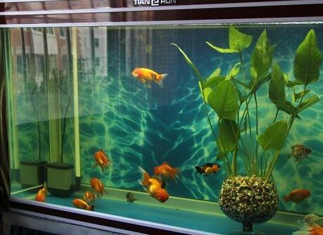 鱼缸如何养冷水鱼_鱼缸养鱼怎么养?_百度知道