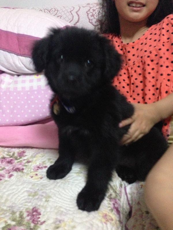 大型犬品种_捡到一只纯黑狗狗,求鉴定!_百度知道