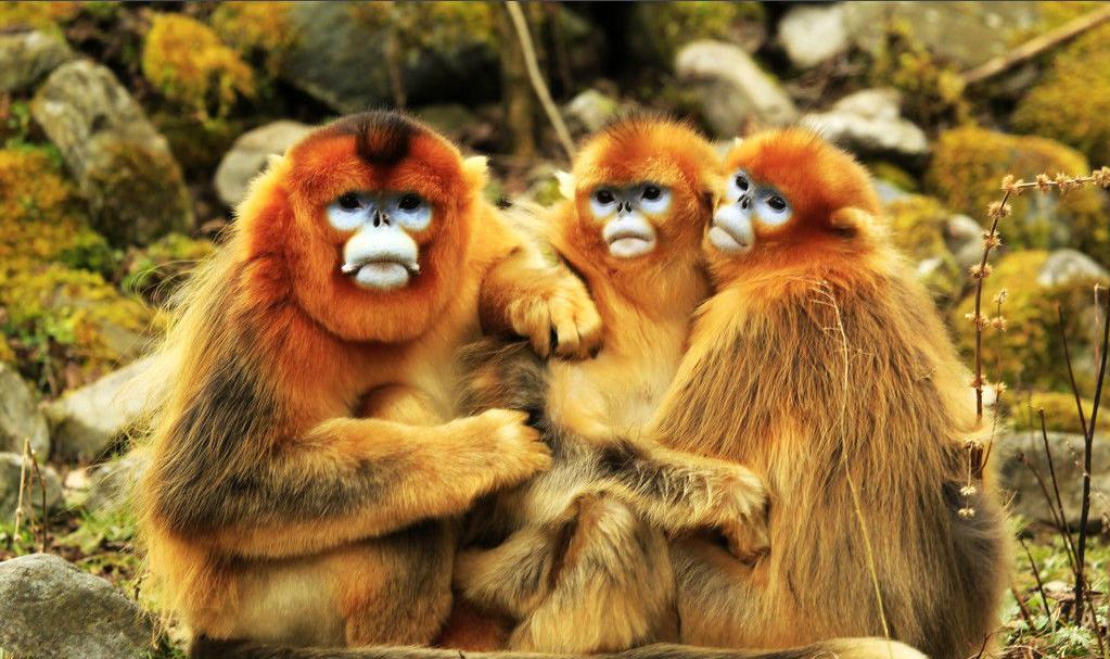 滇金丝猴 英文_请问四条腿的动物有哪些?_百度知道