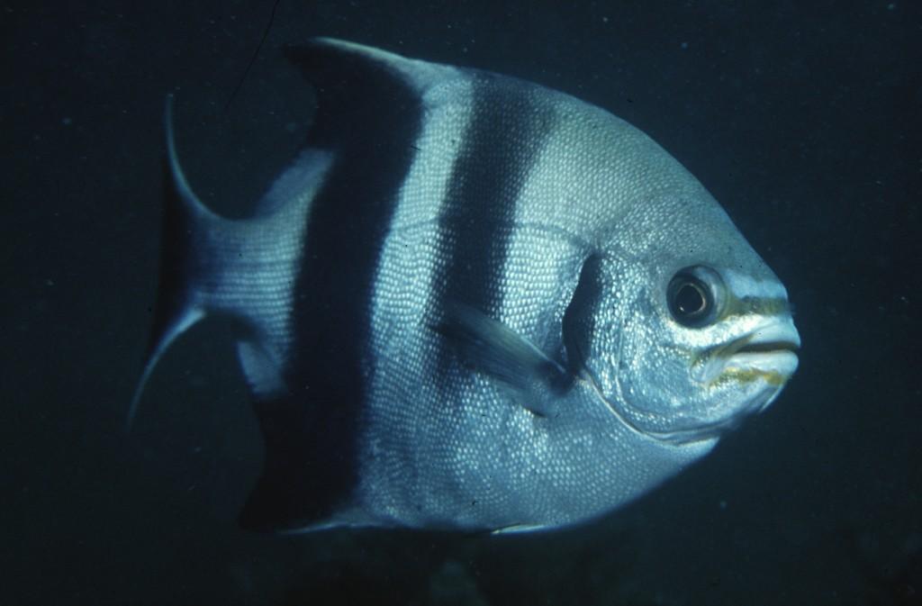 内射粉嫩蝎鱼_sweep fish是什么鱼?