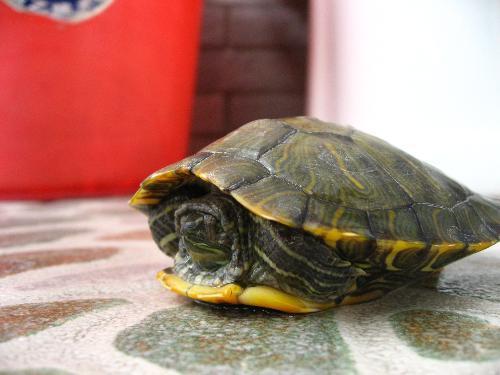 怎样让乌龟冬眠_怎么才能让乌龟不冬眠?_百度知道