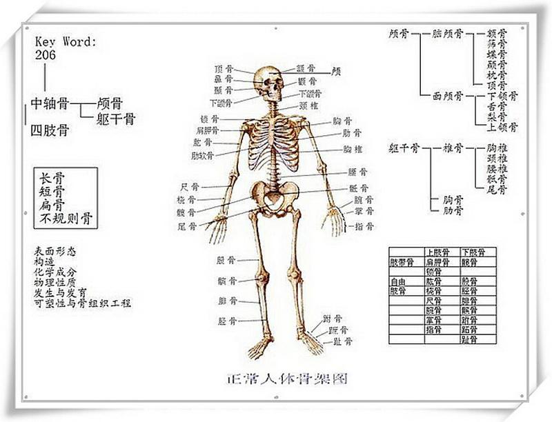 人体骨骼内脏示意图_人体骨架模型_百度知道