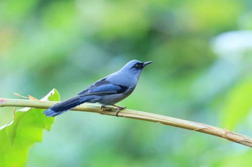 中国国鸟图片_中国的国鸟是什么