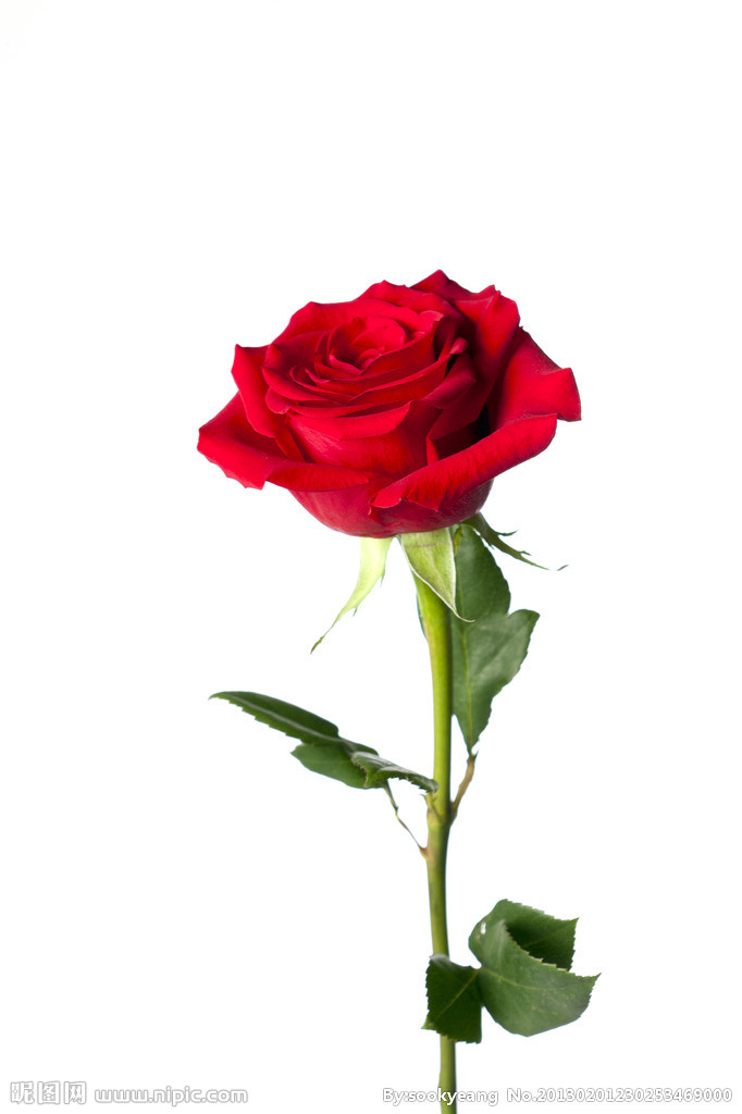 易画玫瑰花朵的图片_求一支玫瑰花的美图,要求:只有一朵花,背景色为淡色调 ...