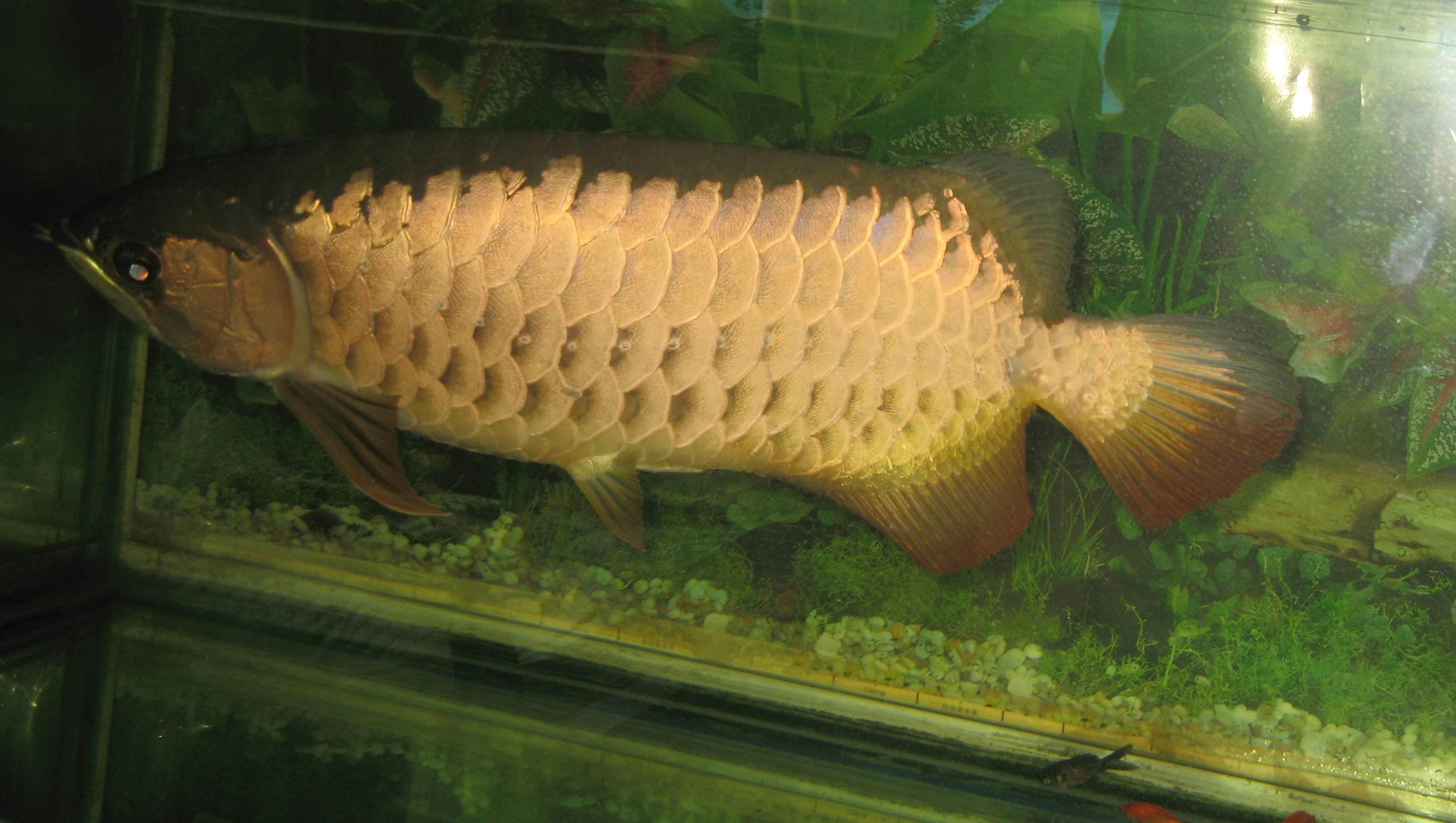 金龙鱼多少钱一条_我们家养的金龙鱼有48CM长,已经养了8年了。请问再深圳能值多少 ...