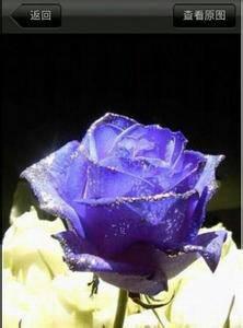 蓝色妖姬是干花吗_蓝色妖姬的图片_百度知道