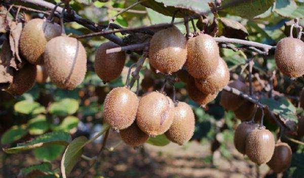 """""""猕猴桃""""从种植到结果需要多少年?"""