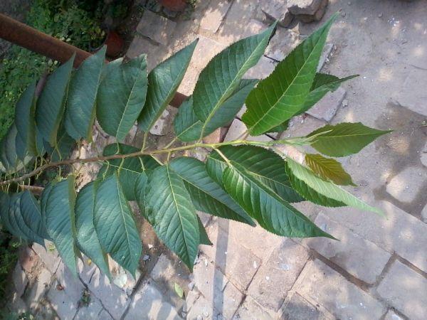 棵核桃树,一棵樱桃树,哪位高人分一下 哪个叶子是核桃叶图片